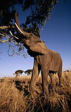 Elefante © Martin Harvey