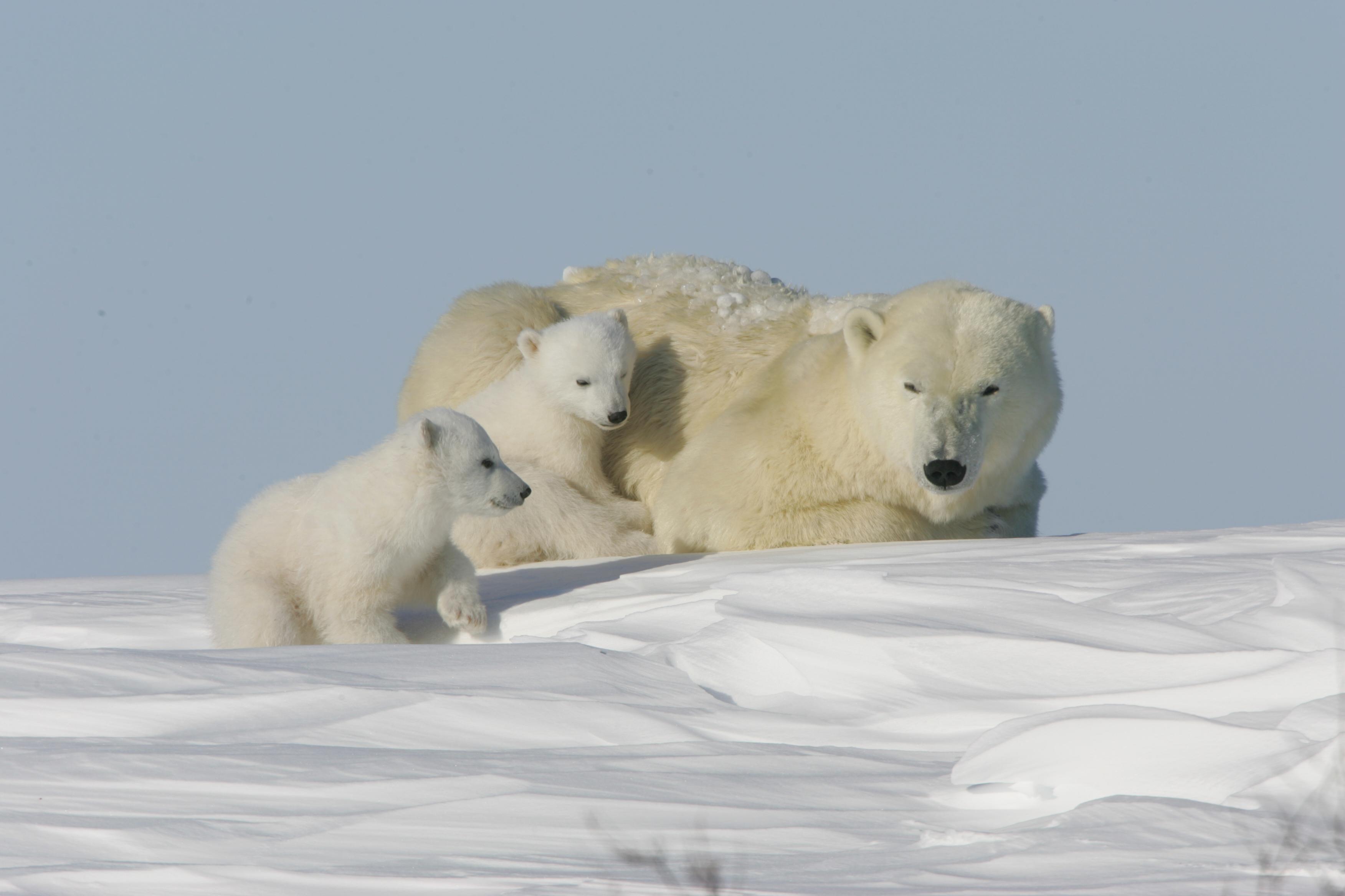 Al via spedizione wwf per studiare orsi polari wwf italy - Orsi polari pagine da colorare ...