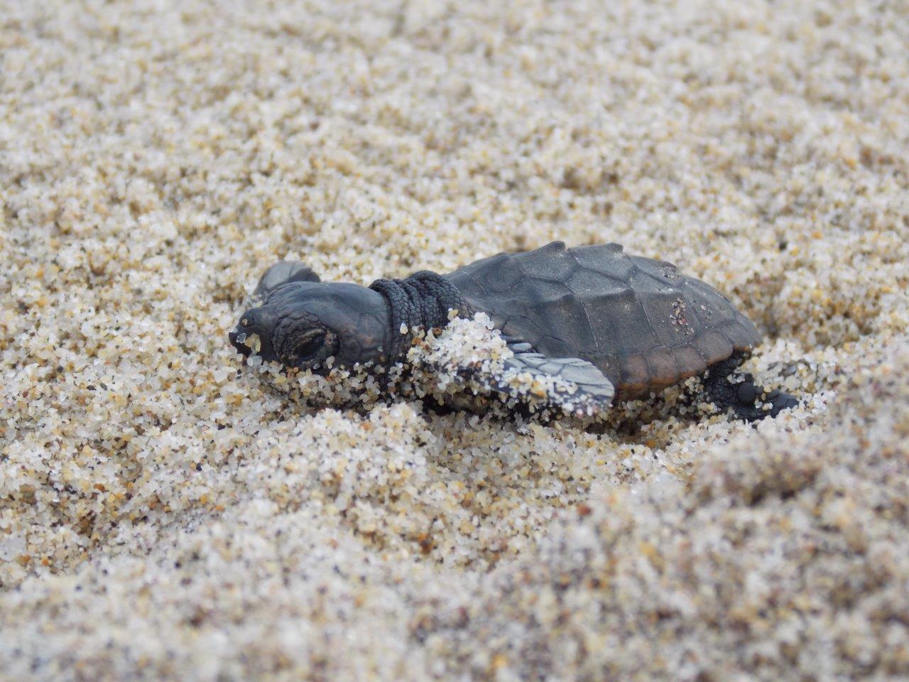 Tartarughe marine si schiude il nido di pizzo wwf italy for Tartarughe di mare domestiche