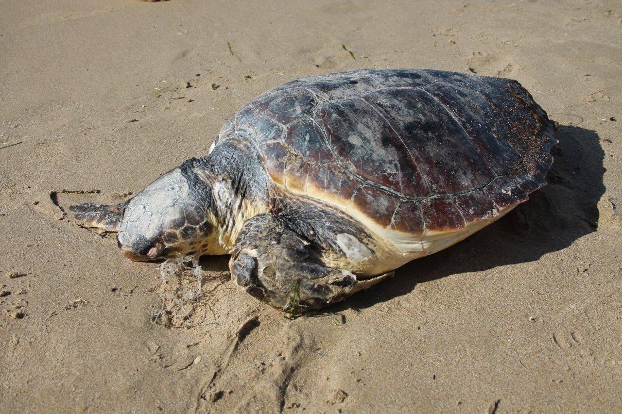 Allarme per le tartarughe morte in alto adriatico wwf italy for Tutto per le tartarughe