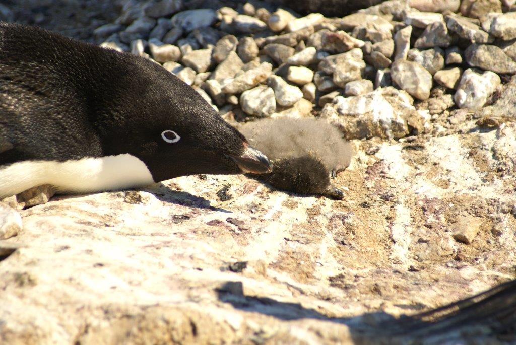 Célèbre La strage dei pinguini di Adelia | WWF Italy VO08