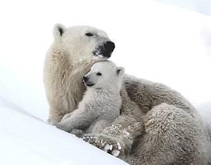 Orso polare mamma con cucciolo nella neve