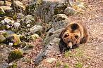 Orso bruno nell'area Maso Fratton © ArchivioWWF/S.Bragonzi