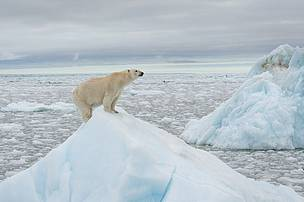 Orso polare_Artico