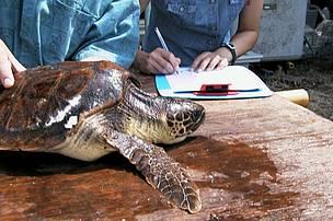 Volontariato a crotone wwf italy for Temperatura tartarughe