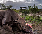 Lo scatto vincitore del Wildlife Photographer of the Year 2017 del fotogiornalista sudafricano Brent Stirton