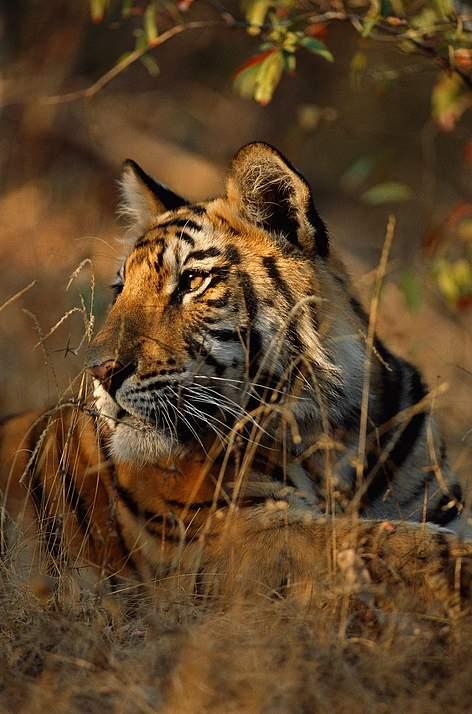Chi la tigre wwf italy for Disegni delle tigri