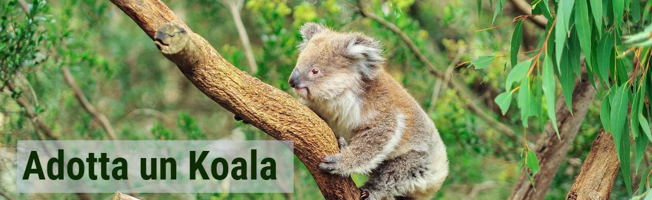la clamidia e il koala infettano luomo