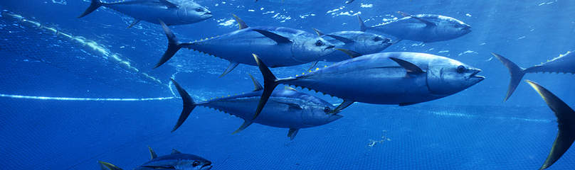 Yellowfin tuna, Pacific Ocean Mexico  	© naturepl.com